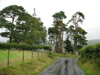 Scots Pines image 1